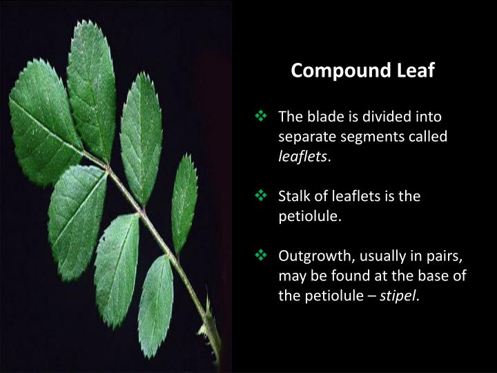 Compound Leaf
