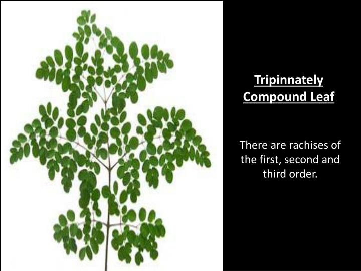 Tripinnately Compound Leaf