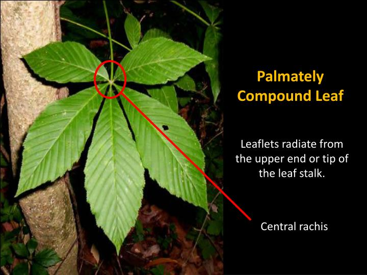 Palmately Compound Leaf