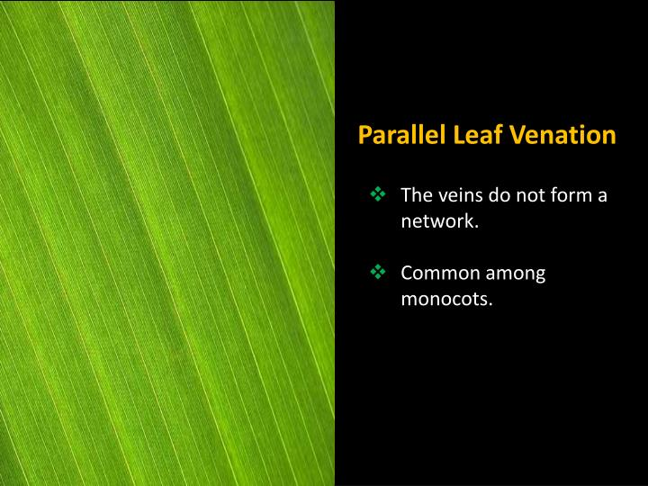 Parallel Leaf Venation