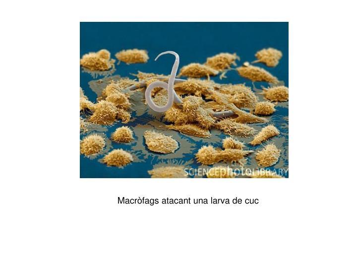 Macròfags atacant una larva de cuc