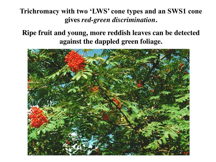 Trichromacy with two 'LWS' cone types and an SWS1 cone gives