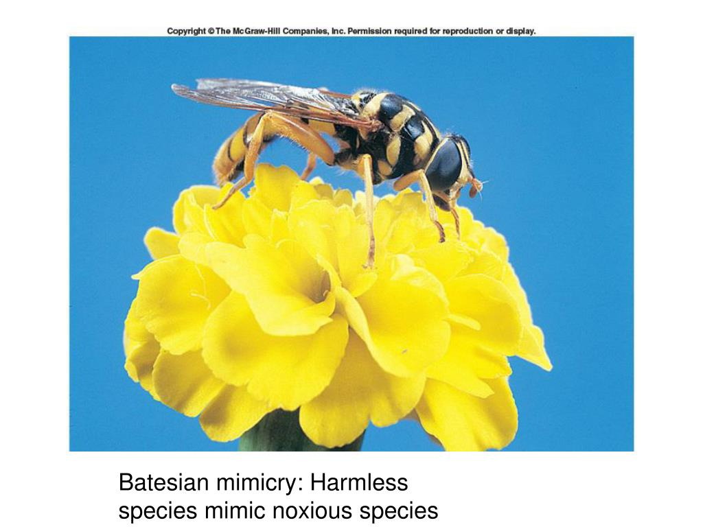 Batesian mimicry: Harmless species mimic noxious species
