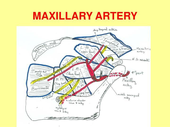 Ppt Infratemporal Fossa Ii Maxillary Nerve Amp Vessels