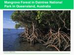 mangrove forest in daintree national park in queensland australia
