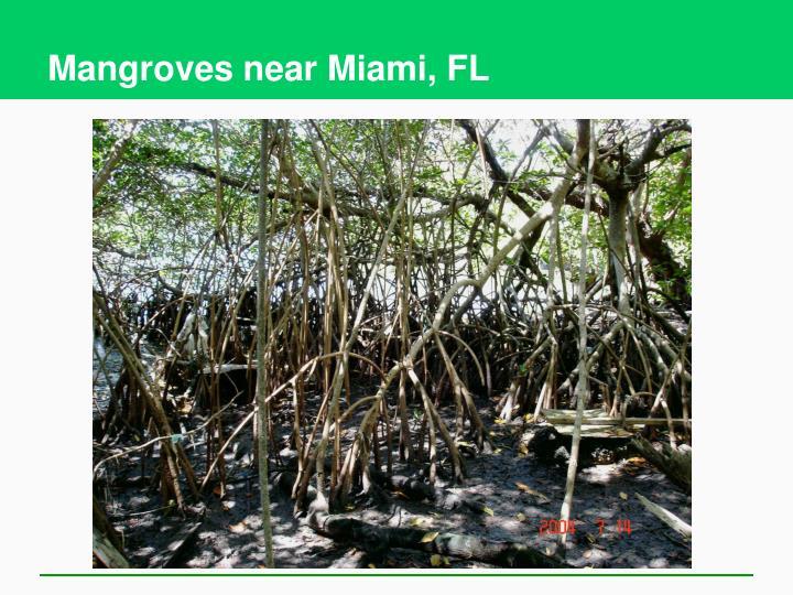Mangroves near Miami, FL