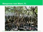 mangroves near miami fl