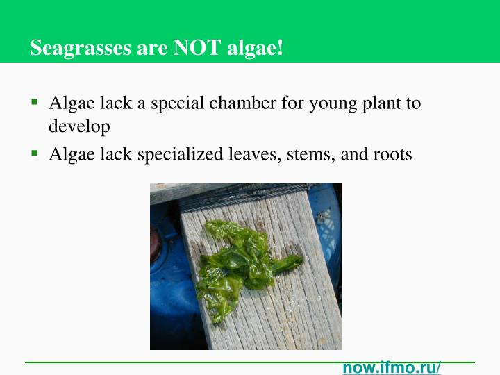 Seagrasses are NOT algae!