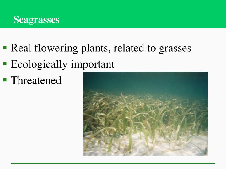 Real flowering plants, related to grasses