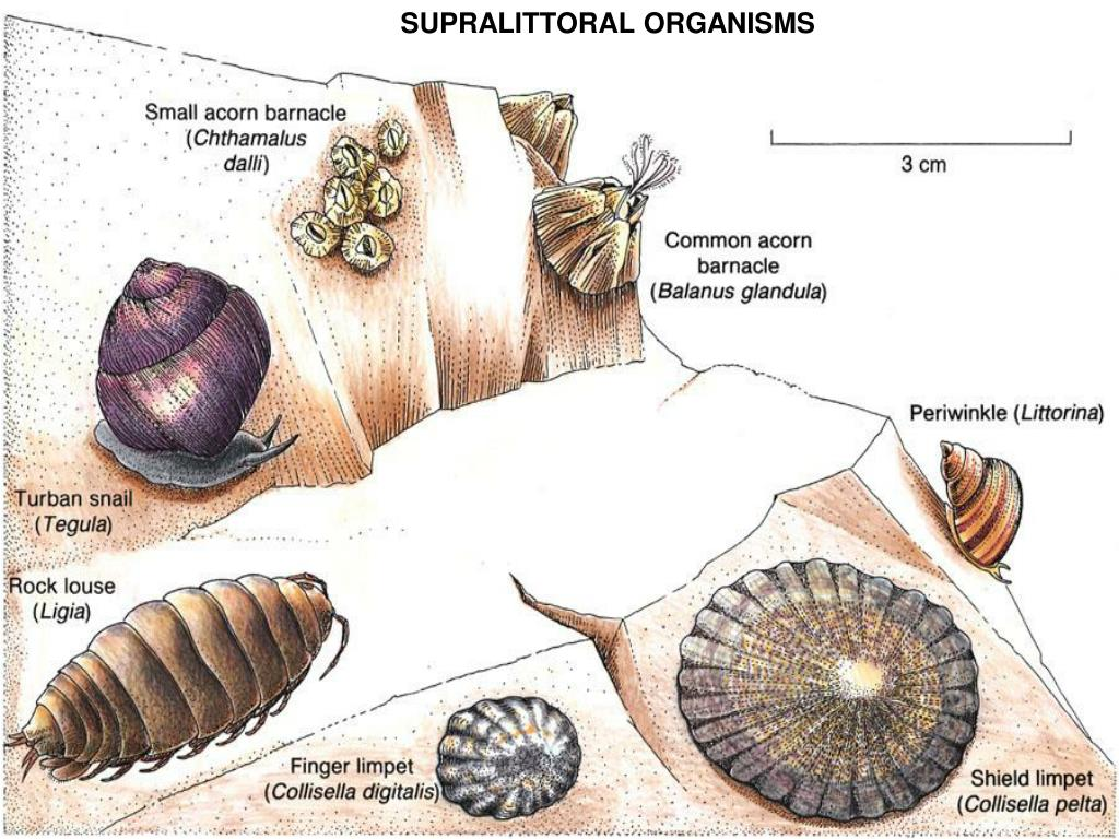 SUPRALITTORAL ORGANISMS