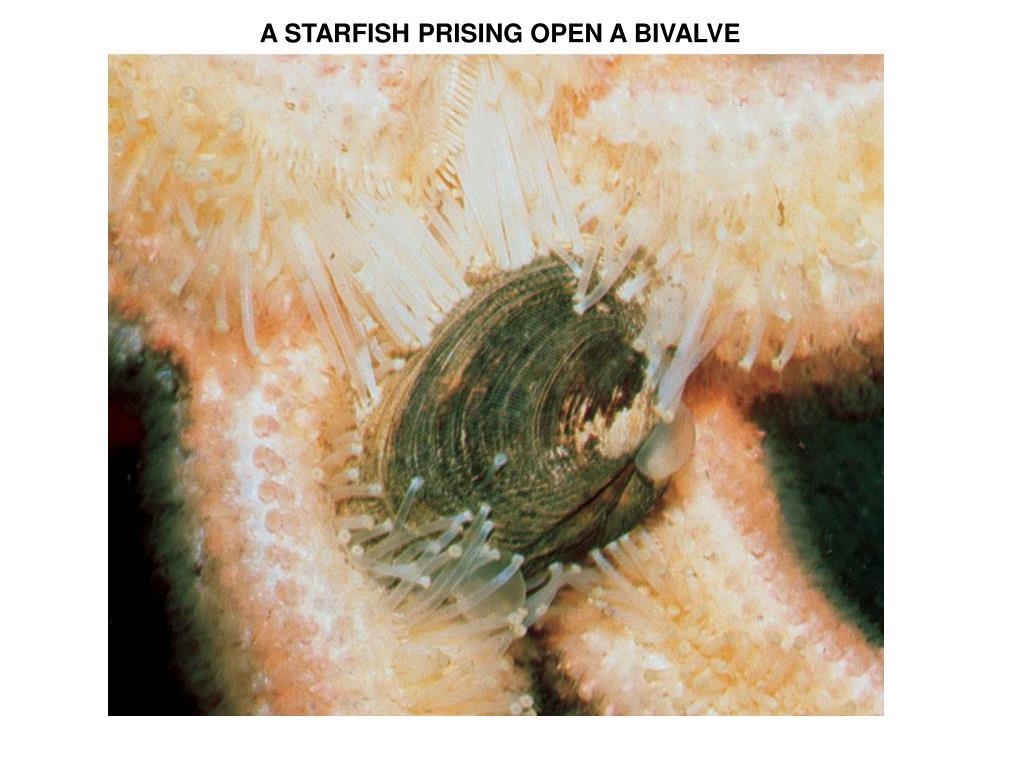 A STARFISH PRISING OPEN A BIVALVE