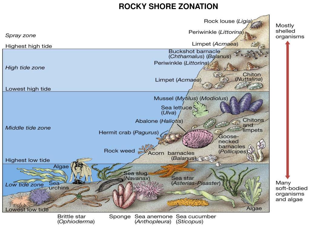 ROCKY SHORE ZONATION
