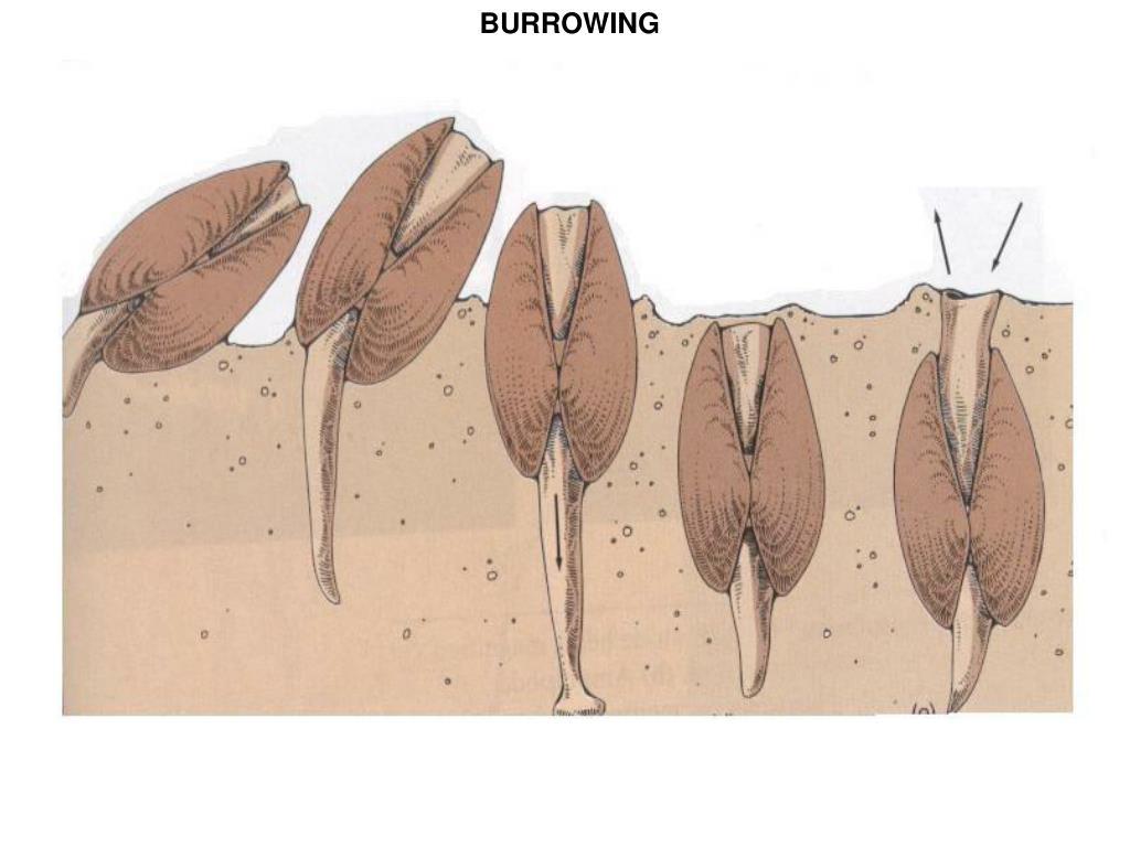 BURROWING