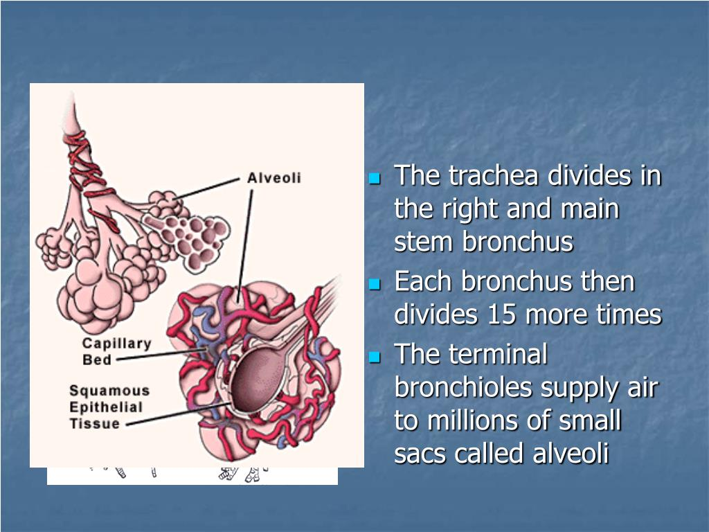 The trachea divides in the right and main stem bronchus