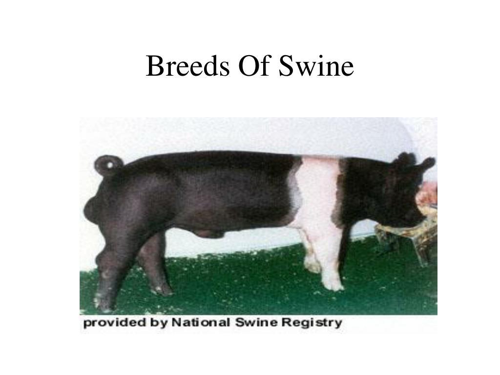 breeds of swine l.