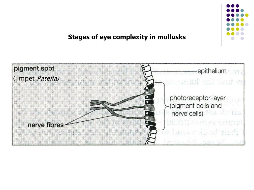 Stages of eye complexity in mollusks