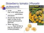 strawberry tomato physalis pubescens