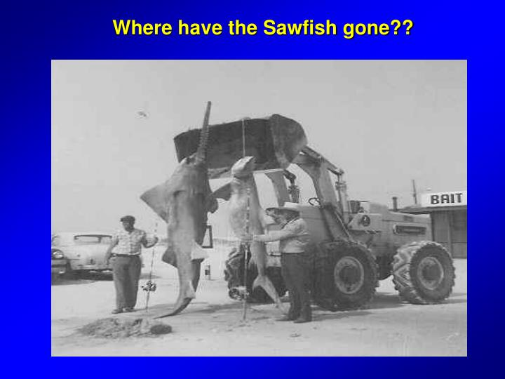 Where have the Sawfish gone??