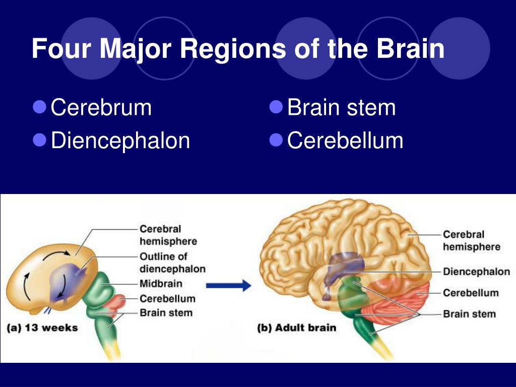 PPT - The Cerebrum PowerPoint Presentation, free download ...