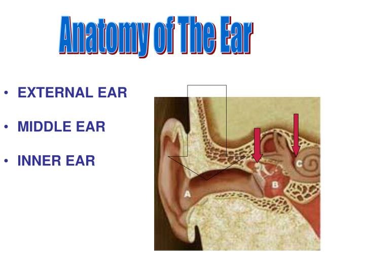 Ppt Anatomy Of The Ear Powerpoint Presentation Id1385020