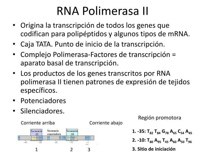 PPT - BASES MOLECULARES DE LA HERENCIA II PowerPoint Presentation ...