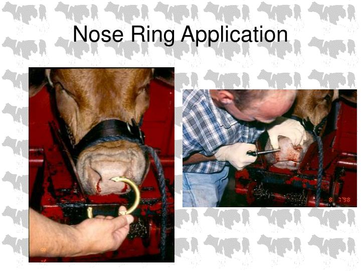 Nose ring application2