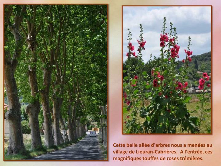 Cette belle allée d'arbres nous a menées au village de Lieuran-Cabrières.  A l'entrée, ces magnifiques touffes de roses trémières.