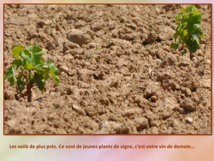 Les voilà de plus près. Ce sont de jeunes plants de vigne, c'est votre vin de demain…