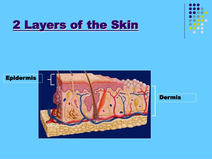 2 Layers of the Skin