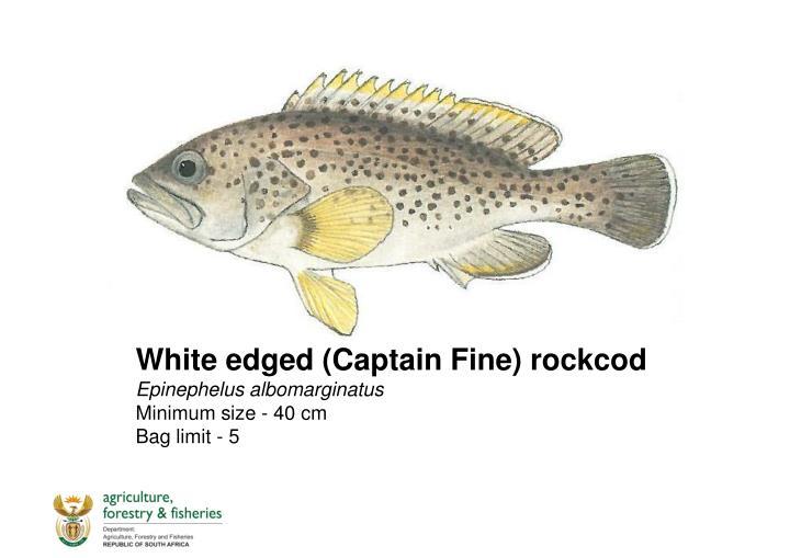 White edged (Captain Fine)