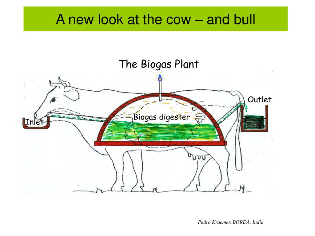 A new look at the cow