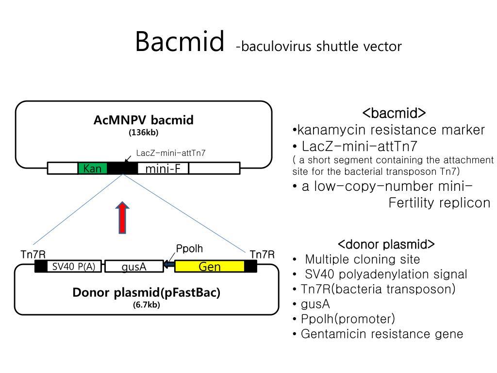 Bacmid Vs Plasmid