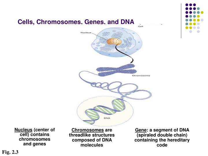 Cells, Chromosomes, Genes, and DNA