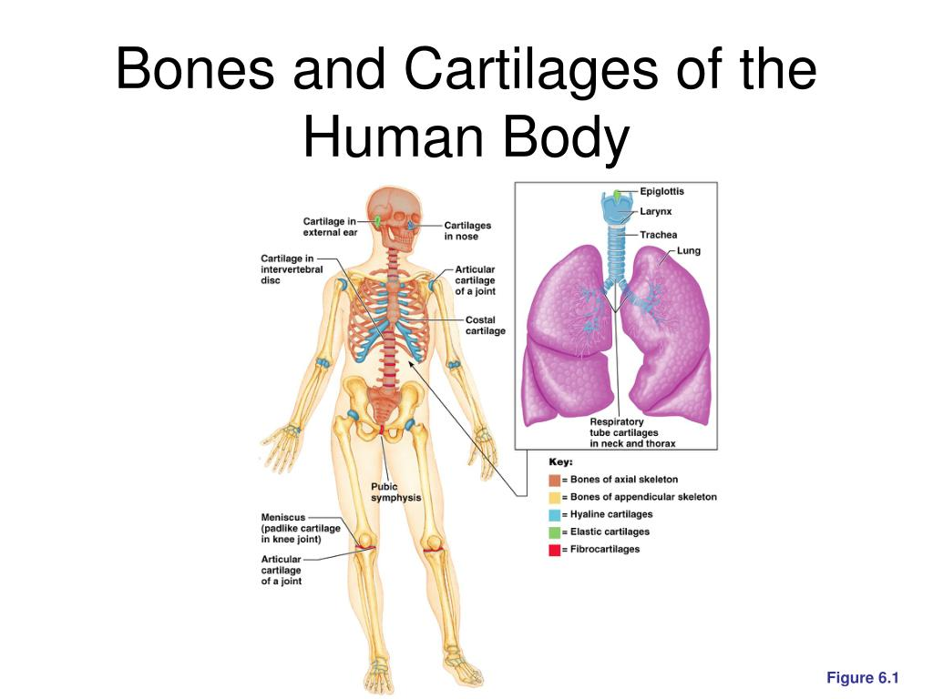 Ppt Bones And Skeletal Tissues Powerpoint Presentation Free