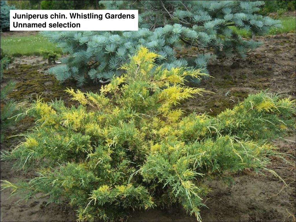 Juniperus chin. Whistling Gardens Unnamed selection