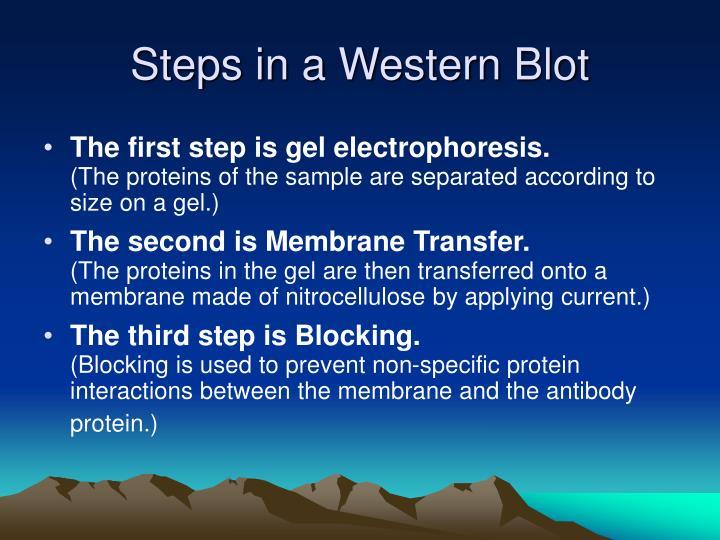 Steps in a Western Blot
