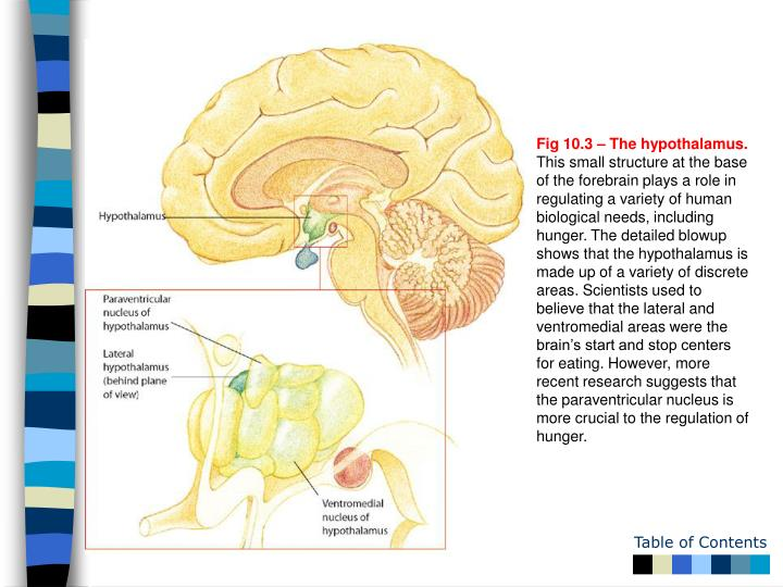 Fig 10.3 – The hypothalamus.