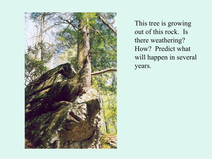 This tree is growing out of this rock.  Is there weathering?  How?  Predict what will happen in several years.