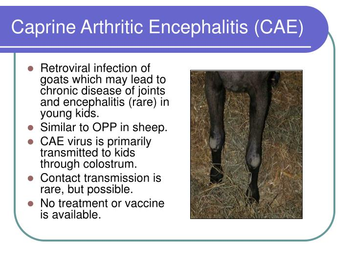 Retroviral infection of goats which may lead to chronic disease of joints and encephalitis (rare) in young kids.