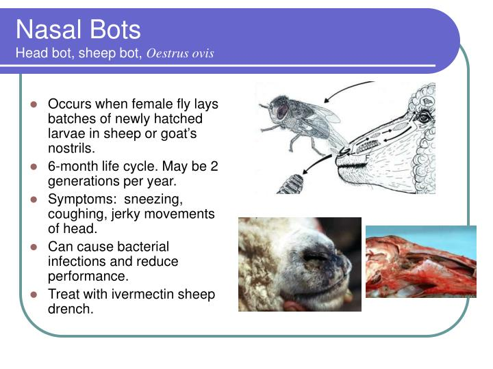 Occurs when female fly lays batches of newly hatched larvae in sheep or goat's nostrils.