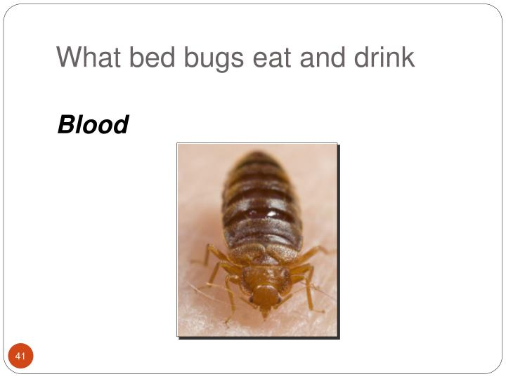What bed bugs eat and drink