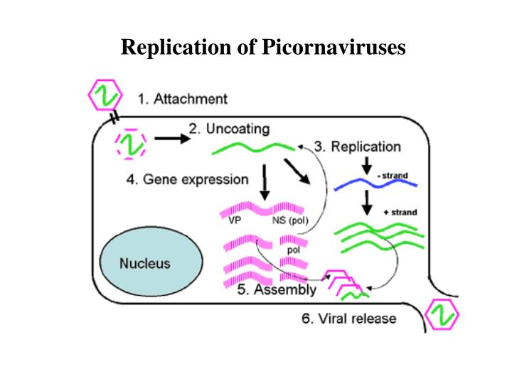 Replication of Picornaviruses