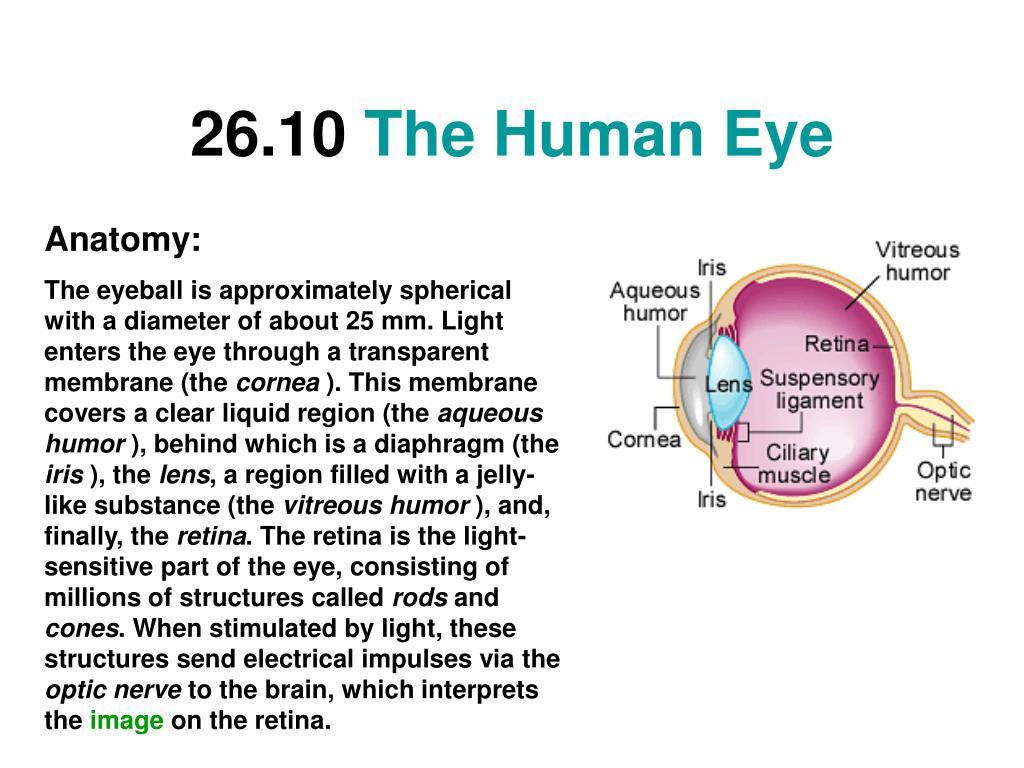 26 10 the human eye l.