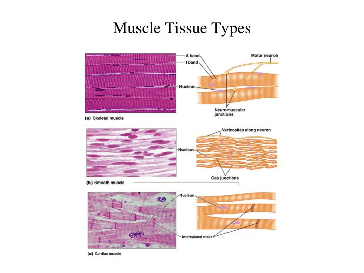 types of tissue and muscle Types of muscle tissue there are three types of muscle tissues in the body: skeletal muscle, cardiac muscle, and smooth muscle let's discuss each in turn skeletal muscle skeletal muscle is also known as voluntary muscle because we can consciously, or voluntarily, control it in response to input by nerve cells.