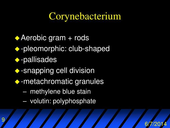 Corynebacterium