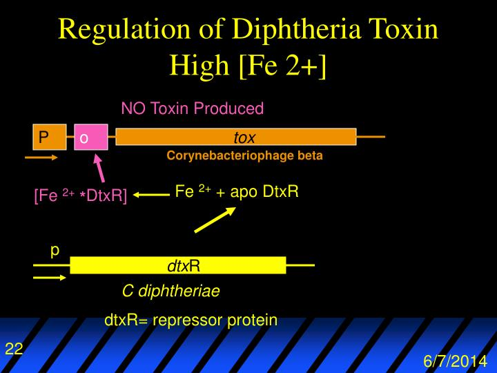 Regulation of Diphtheria Toxin High [Fe 2+]