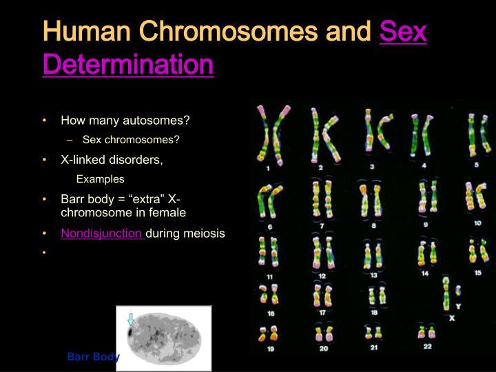 Human chromosomes and sex determination