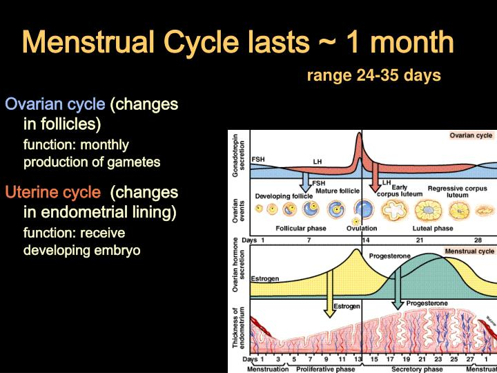 Menstrual Cycle lasts ~ 1 month