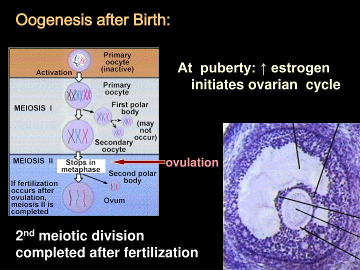 Oogenesis after Birth:
