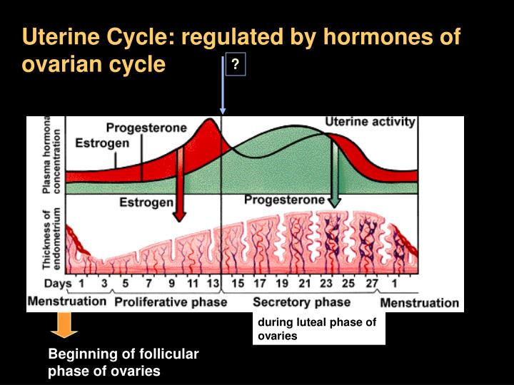 Uterine Cycle: regulated by hormones of